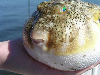 Our coast 39 s food the chicken of the sea north carolina for Puffer fish diet