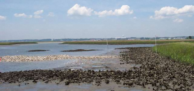 A created oyster bed at the federation's preserve along Hoop Pole Creek in Carteret County.