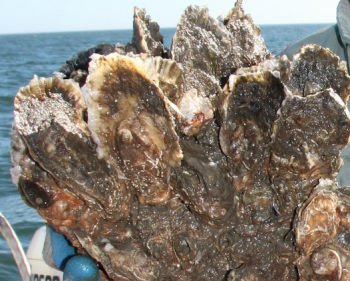 Oyster Rock