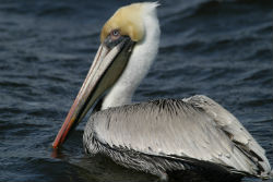Get a close look at brown pelicans on the bird cruises.