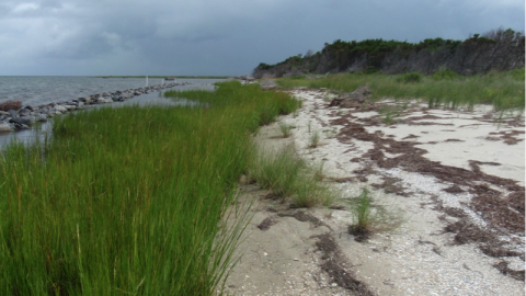 Grasses fill in and spread creating a healthy coastal habitat, August 2013.