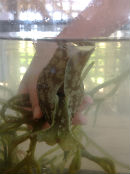 The interesting critter pictured above is a mollusk known as a sea hare, a relative of both the squid and the whelk.