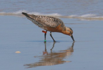Red Knots are one of the bird species that rest at Rich Inlet as they travel north