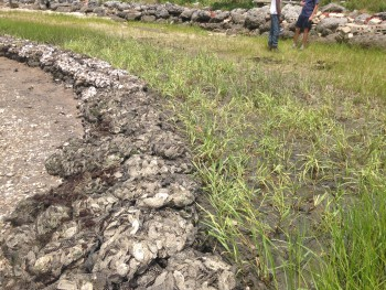 The newly-planted marsh grass will protect the shoreline from erosion