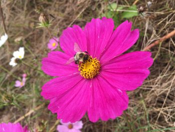 A bee sits on a cosmo. Photo: Rachel Bisesi