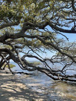 Memorial Forest Oak Tree