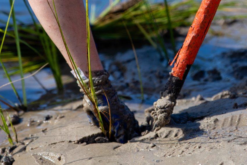 Planting of a living shoreline